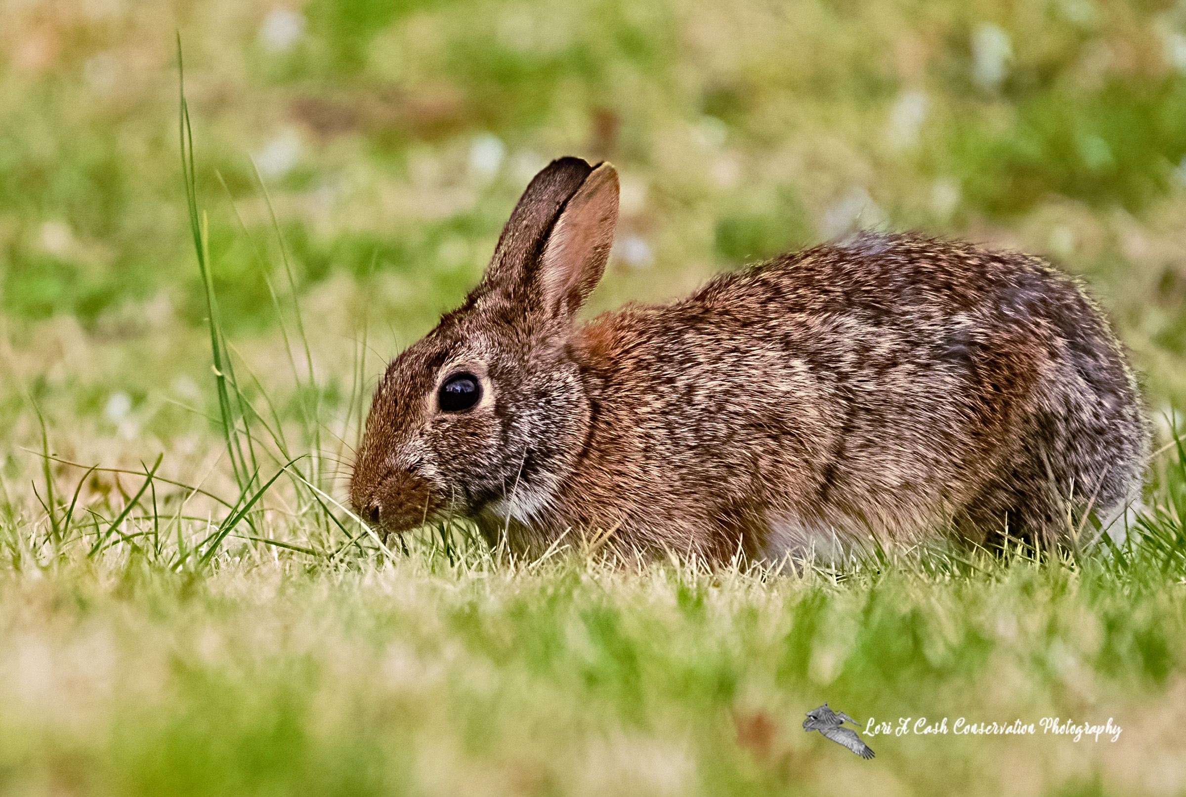 An Eastern Cottontail rabbit pausing from eating grass at Fort Monroe in Hampton, Virginia