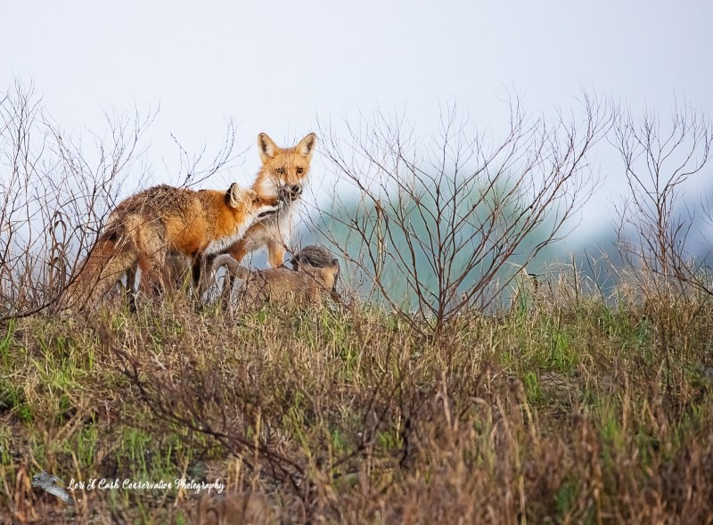 Red fox (Vulpes vulpes) dog brings breakfast to his vixen and pups on an early spring morning at Fort Monroe National Monument in Hampton, Virginia.