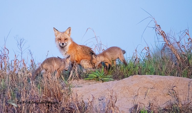 Red fox (Vulpes vulpes) vixen with kits near their den in early morning light at Fort Monroe National Monument in Hampton, Virginia.