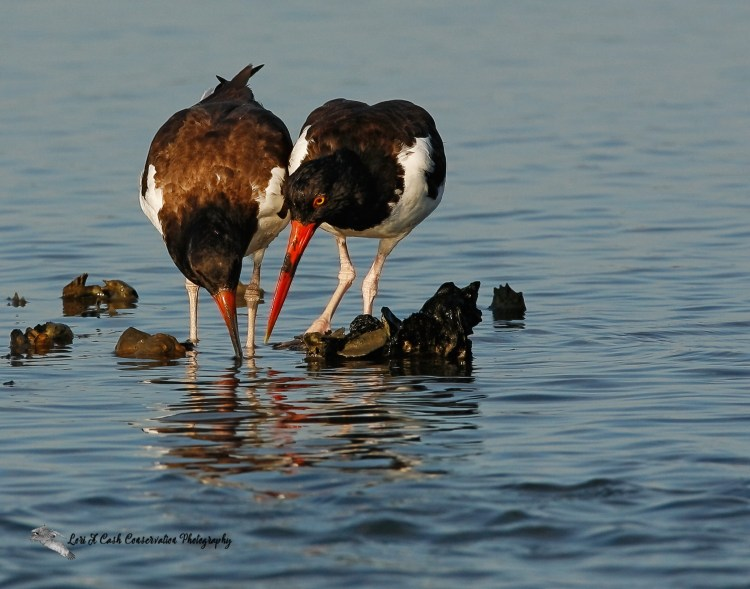 Adult and juvenile American oystercatchers searching for oysters in the Chincoteague Causeway on the Eastern Shore of Virginia.