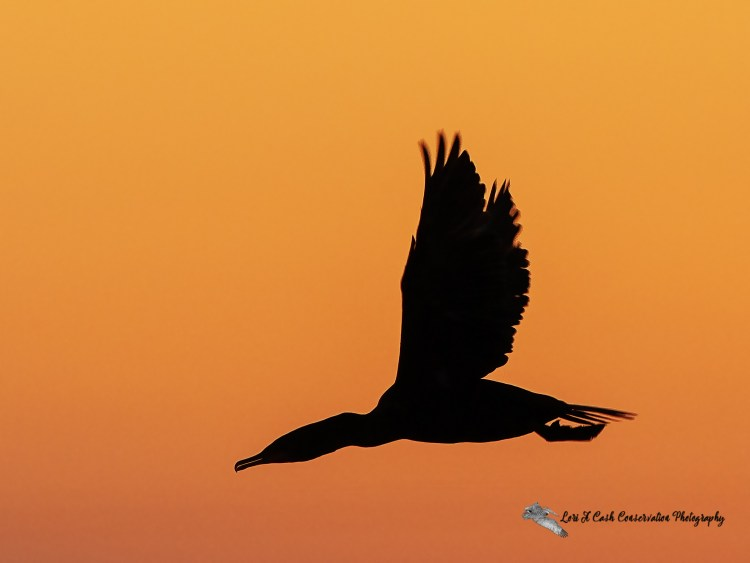 Silhouette of double-crested cormorant in flight in a colorful orange sky at sunset..