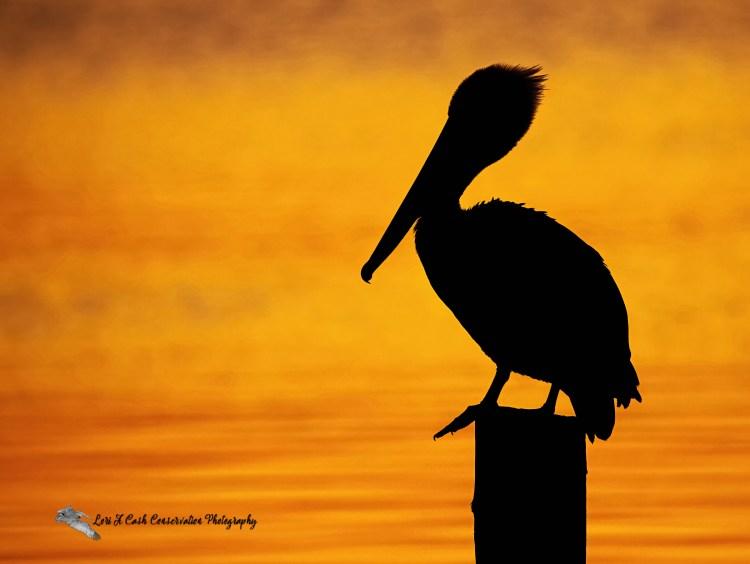 A brown pelican profile silhouette at sunrise at Phoebus Waterfront Park in Hampton, Virginia.