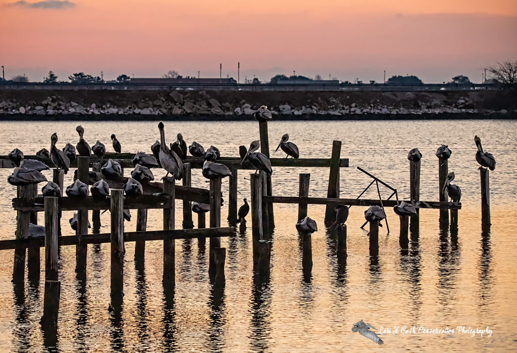 Brown pelicans roosting at sunrise on the pilings on Mill Creek at the Phoebus Waterfront Park in Hampton, Virginia.