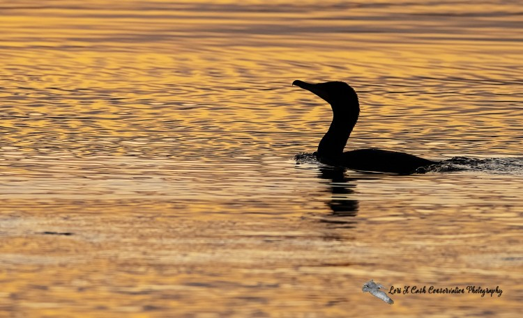 Silhouette of double-crested cormorant swimming in the golden waters of sunrise in Mill Creek at Phoebus Waterfront Park.