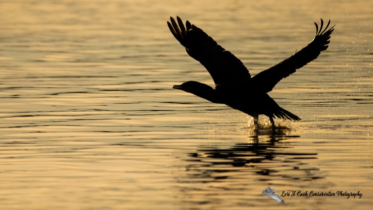 Silhouette of double-crested cormorant taking off from the water in the golden light of an early winter morning in Mill Creek at Phoebus Waterfront Park in Hampton, Virginia.