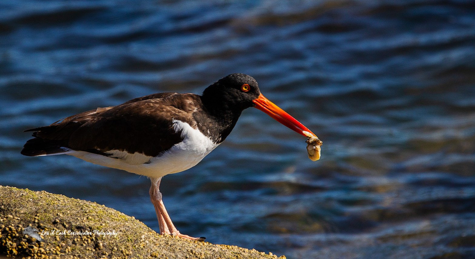On a late spring morning, an American oystercatcher was foraging along the rocky shoreline searching for food as the tide was coming in. I observed and photographed this American oystercatcher as it was stabbing his brightly colored orange red bill into the water at the edge of the rocks. It would consistently find oysters just under the water's surface. Using his sharp bill, the oystercatcher would pry open the oyster shell and extract the oyster with his long bill, but instead of eating the oyster, he would grab the oyster in his bill and fly off, carrying the oyster to feed his chick that was nearby. The male oystercatcher would repeatedly go searching and finding oysters and bring them back to feed his chick while the female American oystercatcher watched over their one chick.
