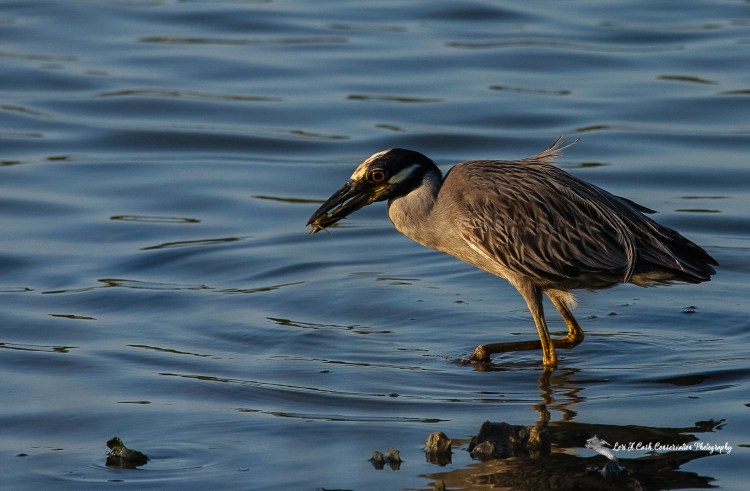 Adult yellow-crowned night heron (Nyctanassa violacea) walking in the water with crab in its mouth at Pleasure House Point Natural Area in Virginia Beach, Virginia.