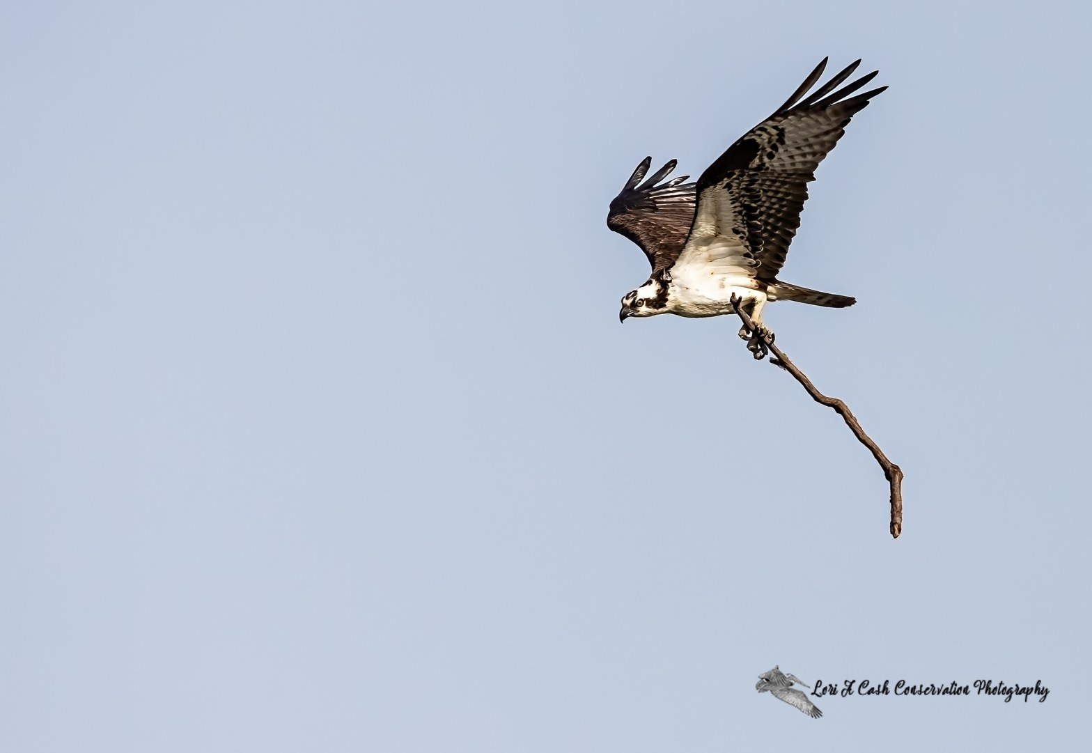 Osprey in flight with twig for building up their nest on an early spring morning at Fort Monroe National Monument in Hampton, Virginia.