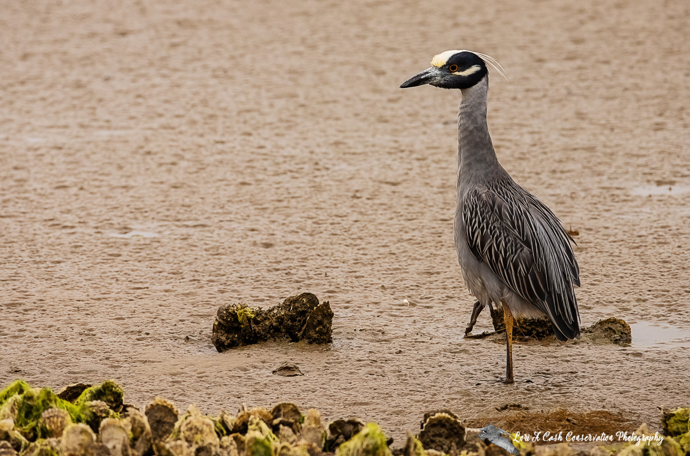 Yellow-crowned night heron on mudflat on a cloudy spring afternoon at Fort Monroe in Hampton, Virginia.