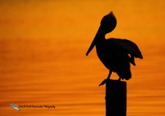 Brown pelican silhouette on post in Mill Creek at sunrise  at Phoebus Waterfront Park in Hampton, Virginia.
