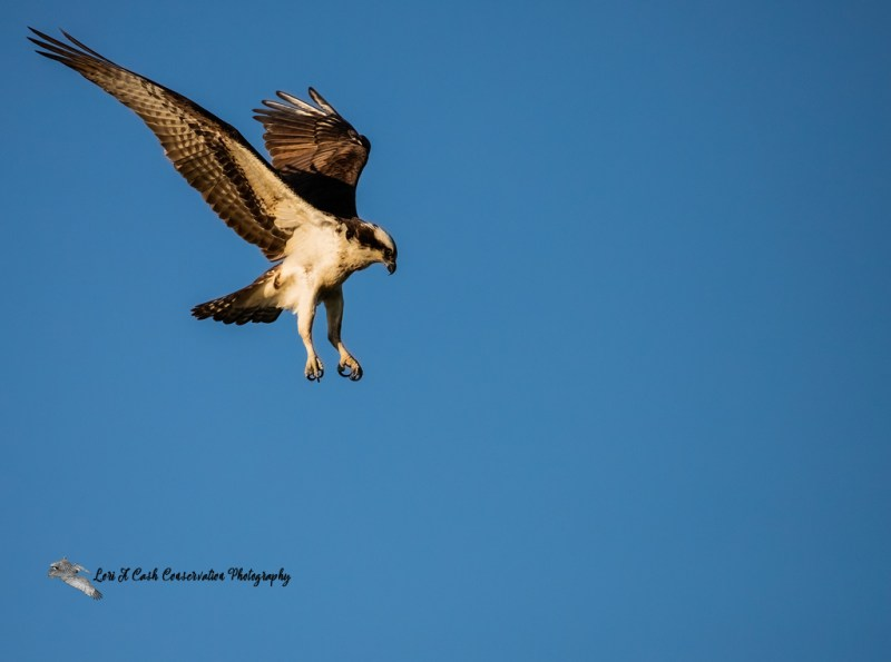 Osprey (Pandion haliaetus) hovering over the water looking for prey on the James River at Lion's Bridge in Newport News, Virginia.