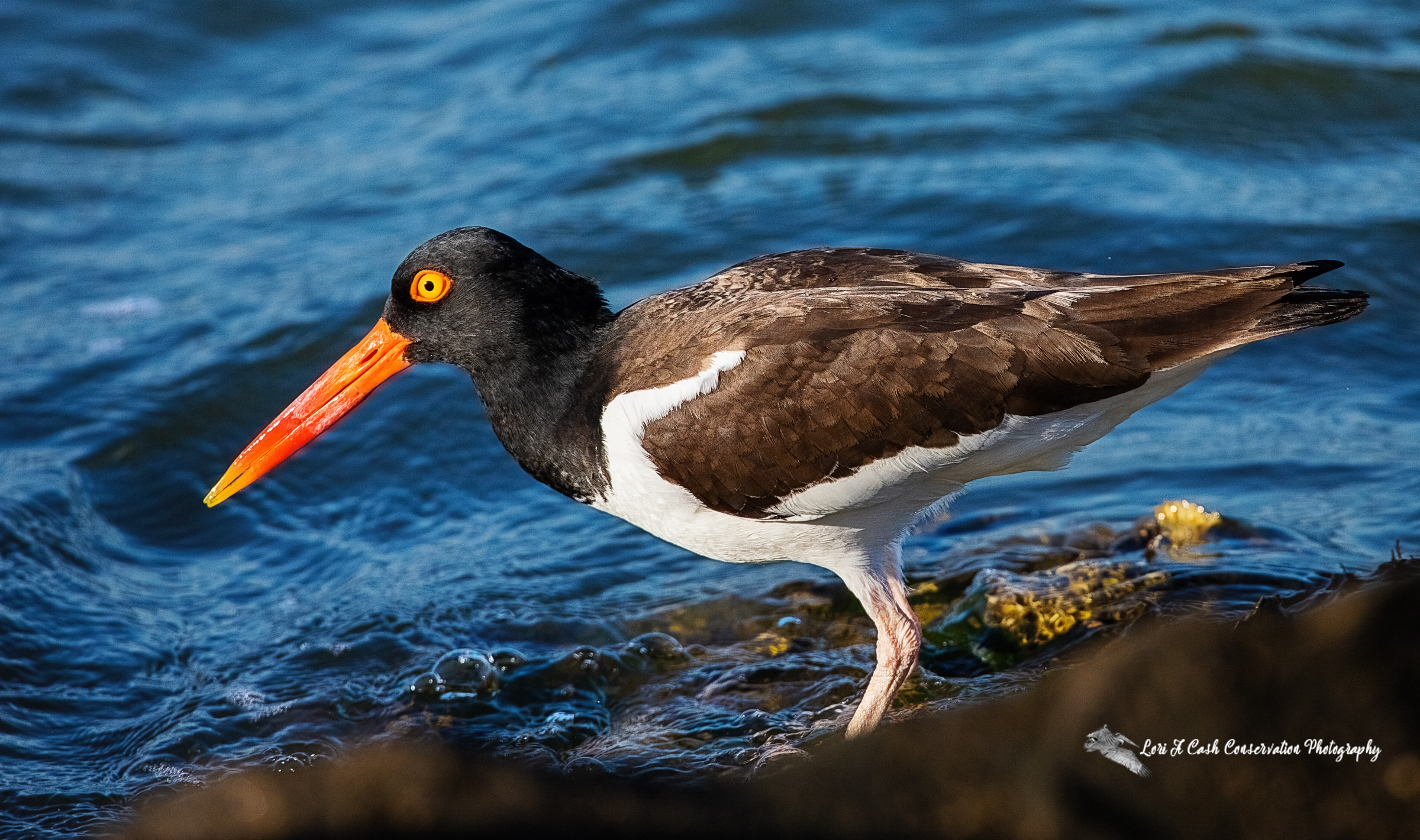 American oystercatcher (Haematopus palliatus) standing on the rocks looking for food to feed its chick nearby at Fort Monroe in Hampton, Virginia.