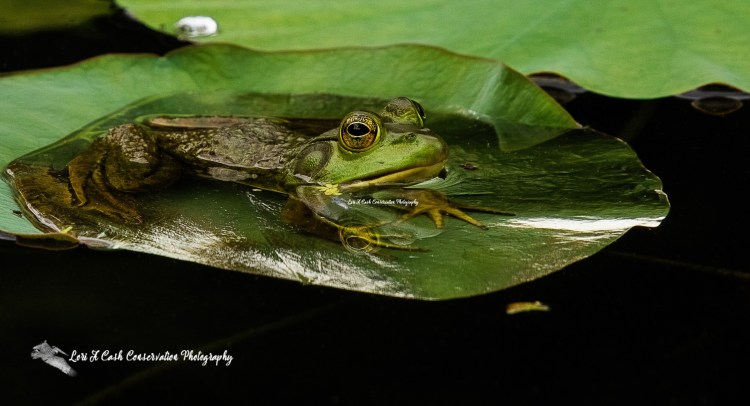 American bullfrog soaking up the sun on a hot sunny day while laying on a lily pad at the Norfolk Botanical Garden in Norfolk, Virginia.