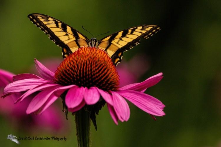 Eastern Tiger Swallowtail butterfly feeding on purple coneflower at the Norfolk Botanical Garden in Norfolk, Virginia.