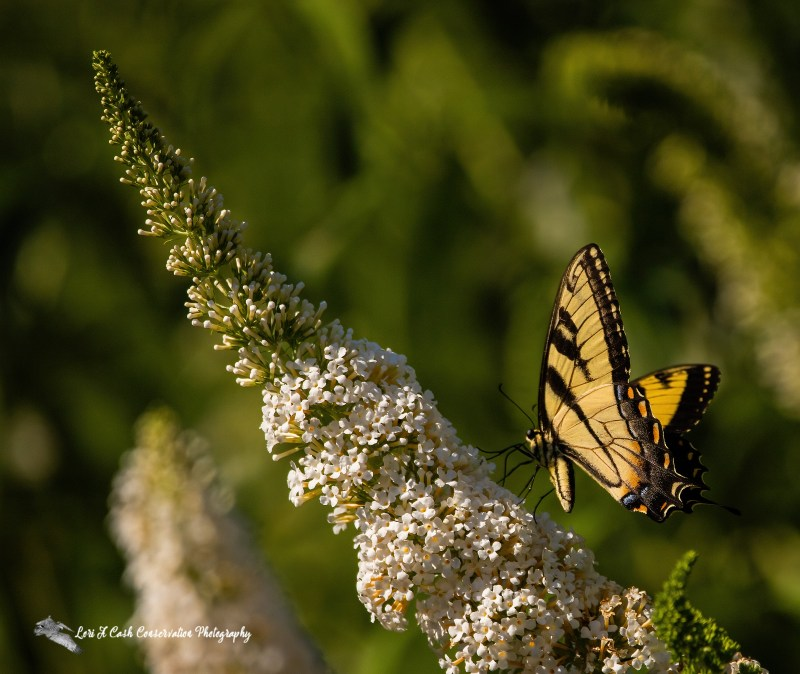 Eastern tiger swallowtail feeding on butterfly bush on a late spring afternoon at Norfolk Botanical Garden in Norfolk, Virginia.
