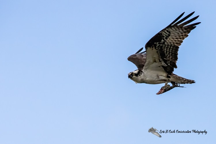 A male osprey in flight with half eaten fish with a blue sky as background at Fort Monroe in Hampton, Virginia.