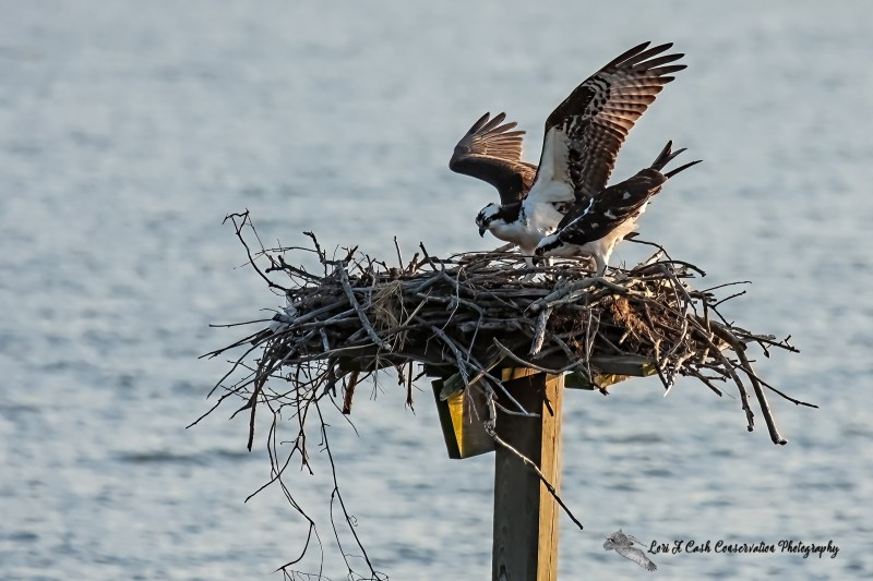 A pair of osprey bulding a nest on a platform of the beach at Cape Charles on the Eastern Shore of Virginia.