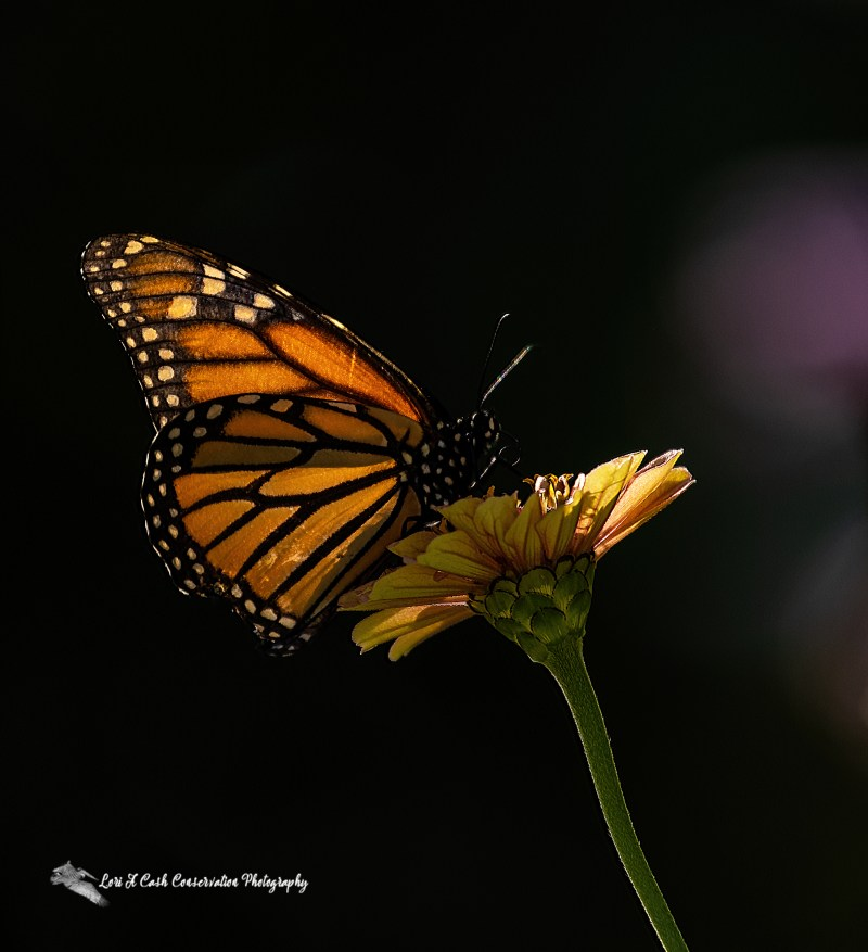 Monarch butterfly (Danaus plexippus) perched on a flower is in decline and there are ways to protect the monarch butterfly.