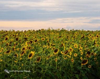 Sunflower field in the late evening light in Crittenden County, Arkansas.