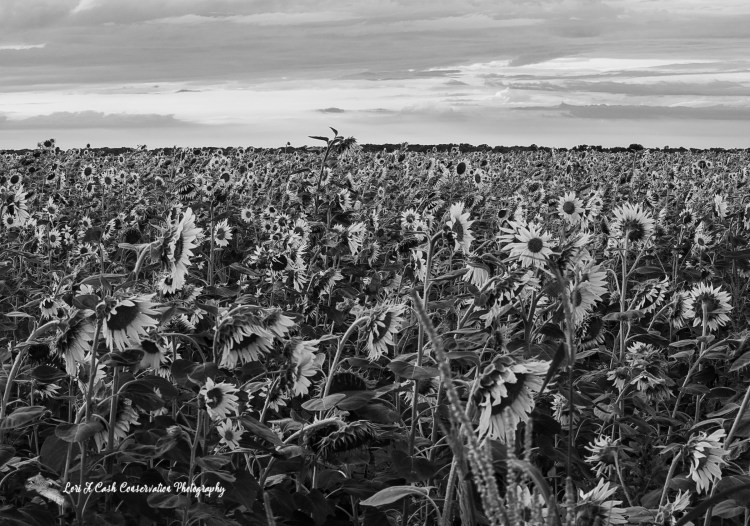 Sunflower field image converted to a black and white image during post processing of RAW image using Adobe Photoshop.