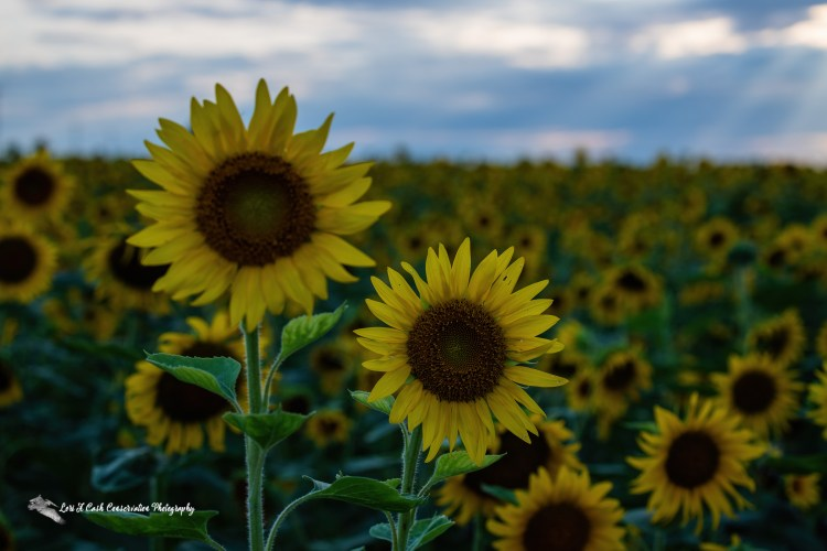 Sunflower duo close up in the summer evening light in a sunflower field in Crittenden County in Arkansas.