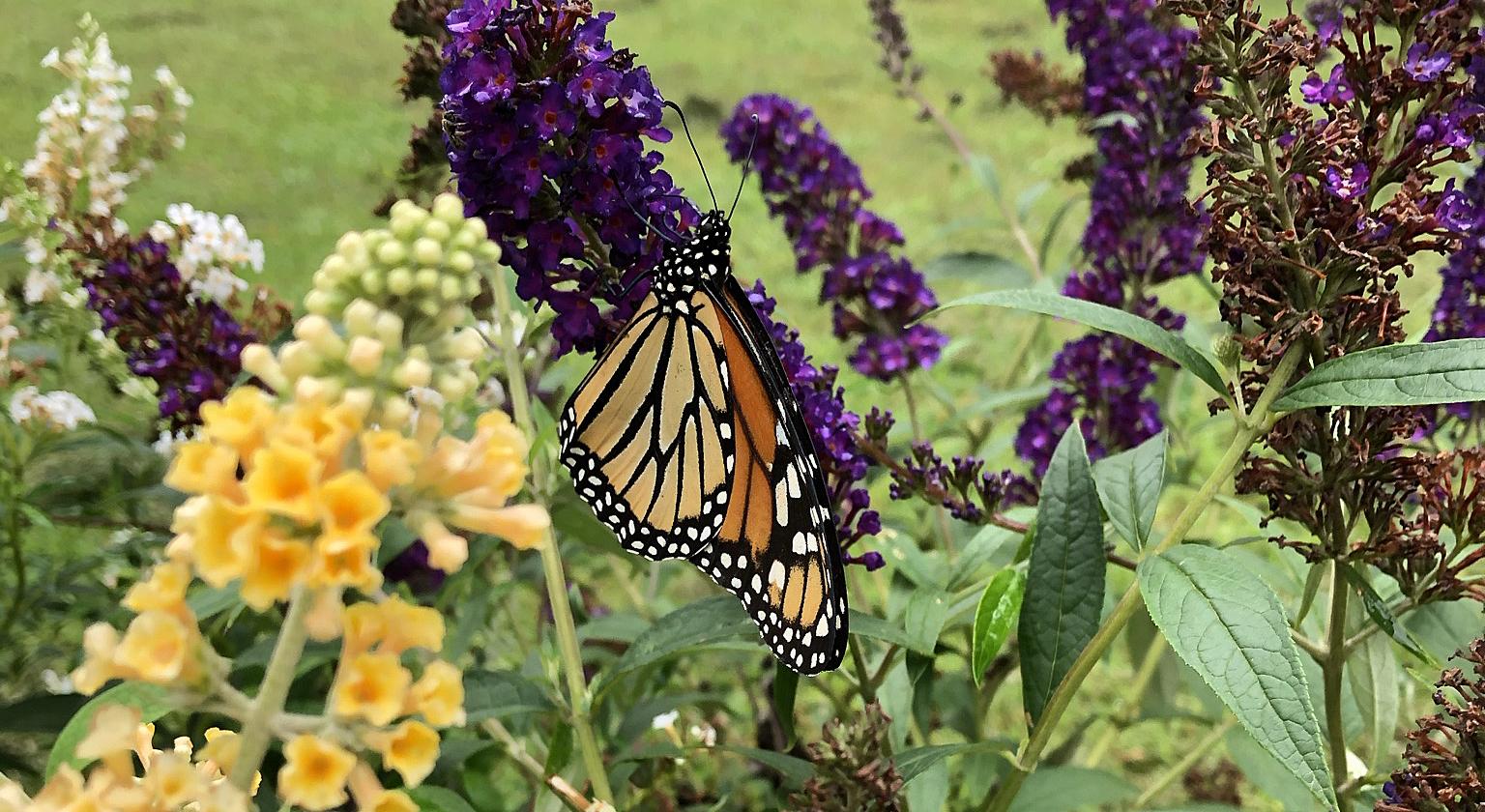 Monarch butterfly (Danaus plexippus) feeding on a Black Knight Butterfly Bush in backyard butterfly garden in Hampton, Virginia.