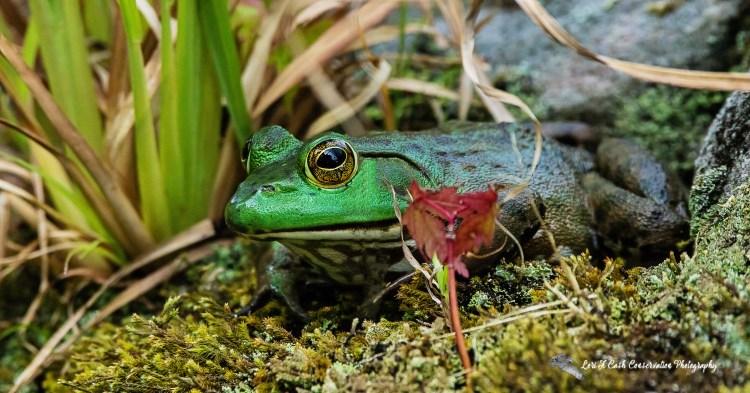 American bullfrog (Lithobates catesbeianus) sitting in grass near the lily pond at the Norfolk Botanical Garden in Norfolk, Virginia.