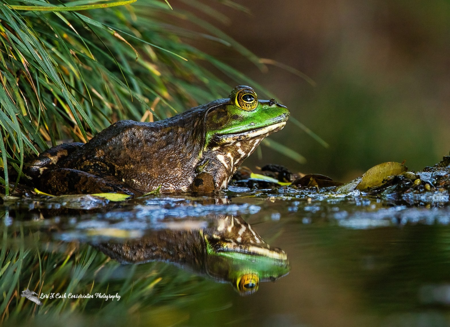 American bullfrog (Lithobates catesbeianus) sitting along the grass at edge of water with reflections in water at Norfolk Botanical Garden in Norfolk, Virginia.