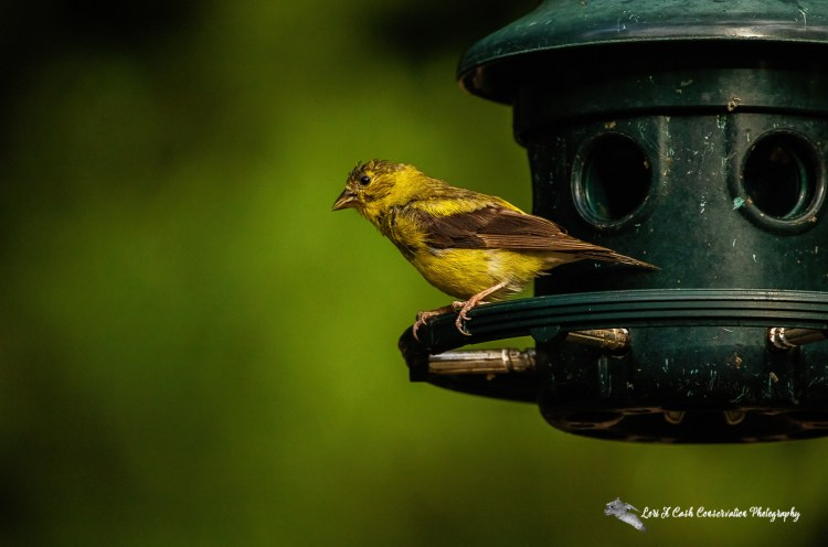 American goldfinch (Spinus tristis) resting on a birder feeder on the grounds of the Williamsburg Botanical Gardern located in Freedom Park in Williamsburg, Virginia.