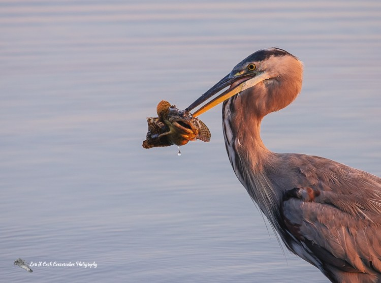Great blue heron (Ardea herodias) with large fish in mouth in the early morning along the York River in Yorktown, Virginia.