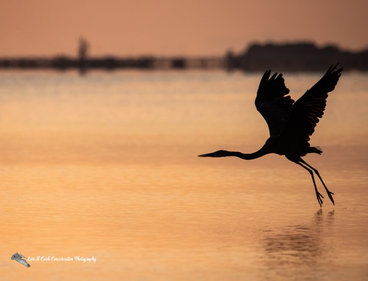 Great blue heron (Ardea herodias) taking flight over the York River in silhouette at sunrise in Yorktown, Virginia.