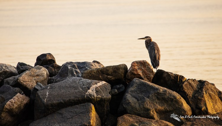Great blue heron (Ardea herodias) standing on the jetty rocks in the early morning light on the York River in Yorktown, Virginia.