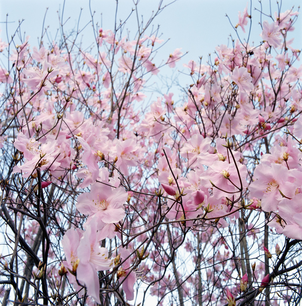 FEB 23, 2013 LORIE ANN JERMOUNE Detail of a cherry tree --- Image by © Royalty-Free/Corbis