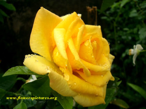 """Meaning of yellow rose flower Joy, Gladness, Friendship, Delight, Promise of a new beginning, Welcome Back, Remember Me, Jealousy, """"I care"""" The color yellow has been closely associated with the sun. As the source of light and warmth, the sun is integral to life on Earth, and has been worshiped in many early societies. It should come as no surprise that the color of the sun would hold many positive connotations. In many Eastern cultures, for example, the color yellow represents joy, wisdom and power. Today yellow roses are more commonly associated with joy and friendship. yellow roses flower: cheerful feelings of warmth and happiness, the yellow rose is purely a symbol for friendship. Yellow roses can send the perfect message of appreciation and platonic love without the romantic subtext of other colors. They can represent feelings of joy and delight. Email: flowerspictures@hotmail.com Copyright © 2008 www.flowerspictures.org All rights reserved"""