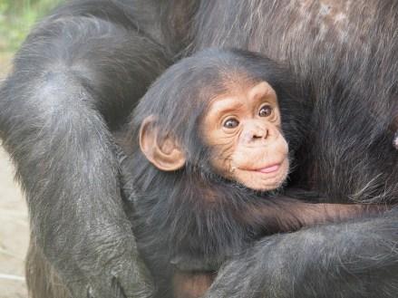 Animals Love Baby Mother Chimpanzee Animal