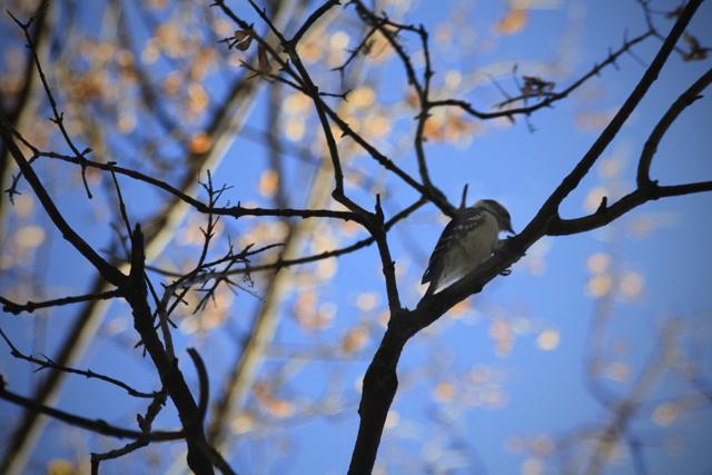 Winter Sky Woodpecker