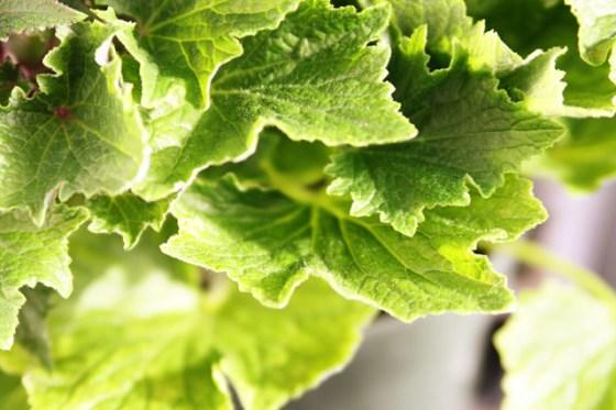 Primrose, Gertens, greenhouse