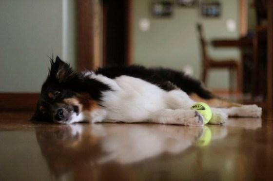 Dog Tired, Australian Shepard, Humor, Dogs, Pets