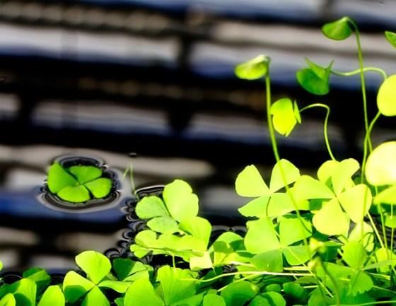 Lucky clover, shamrock, doodle quilt, winner, four leaf clover