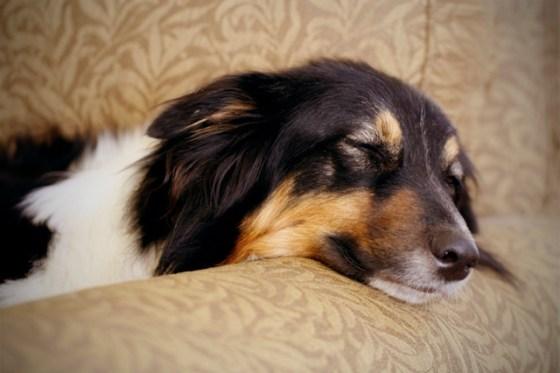 Australian shepherd, Ruby, dog sleeping on sofa