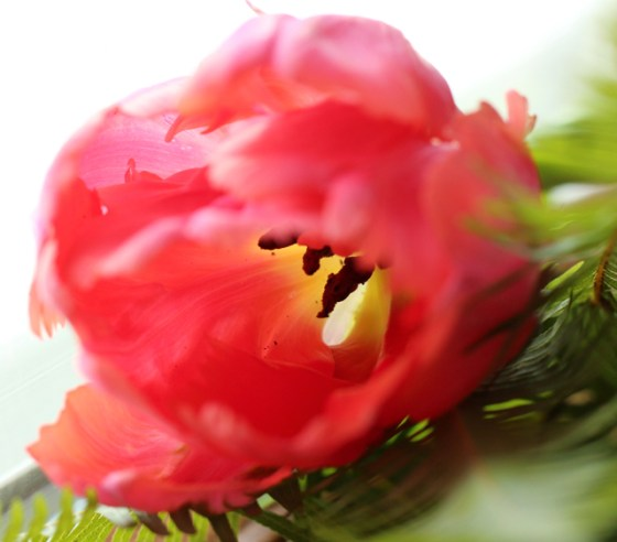 Pink Tulips, Color, Inspiration, Flowers, Photography, Macro Lens