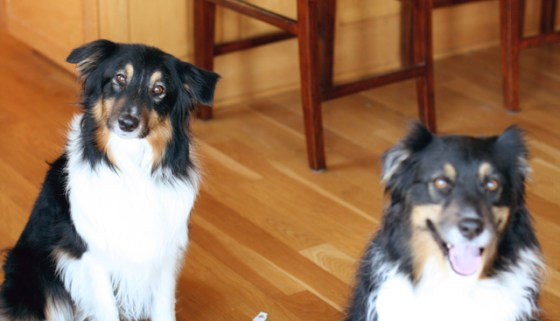 Ruby and Roxie, Australian Shepherds