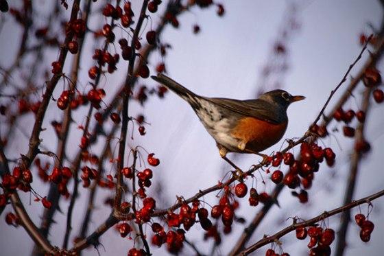 Robin, Bird, Tree,Spring