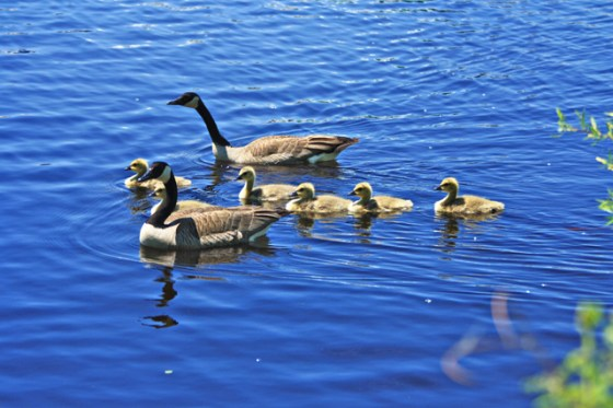 Canadian Geese, St. Croix River, Minnesota