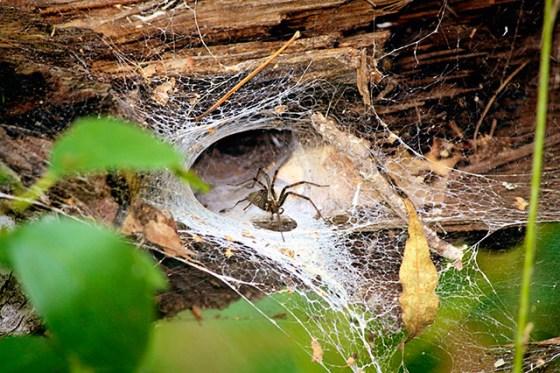 Spiders, Web