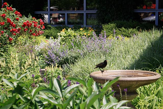 Crow, Garden