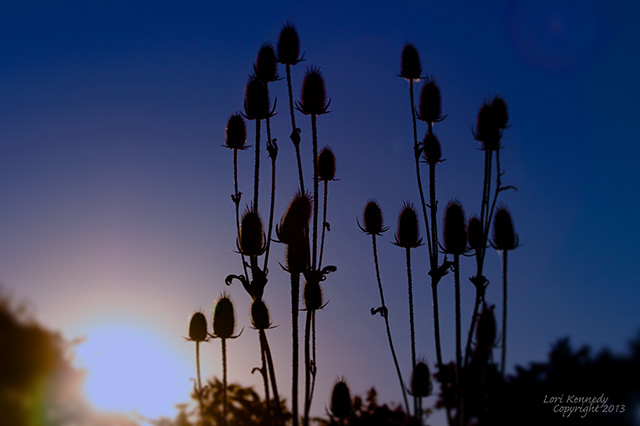 Blue Sky, Seed pods, Sunset
