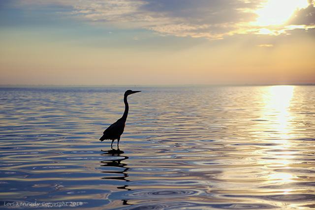 Sunrise, Heron, Morning