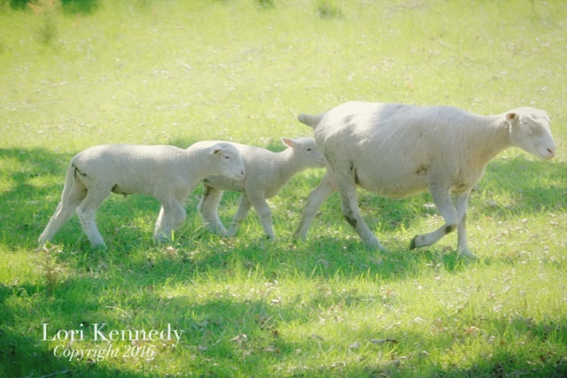 Lamb, Lori Kennedy