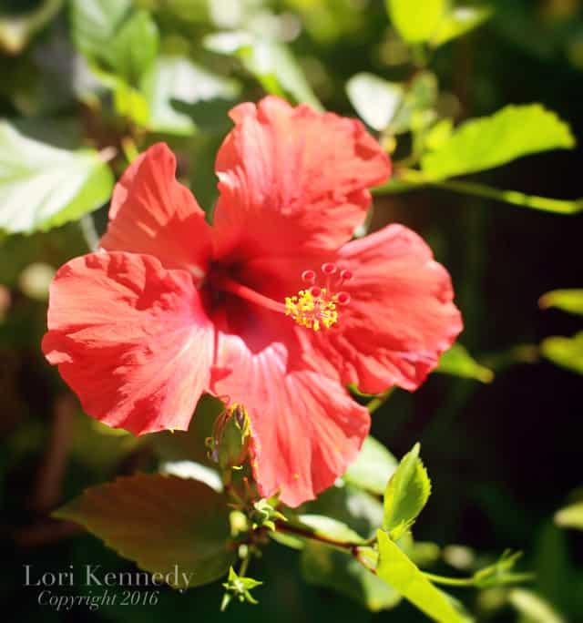 Hibiscus, Lori Kennedy